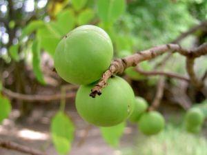 Fruto de Hippomame mancinella