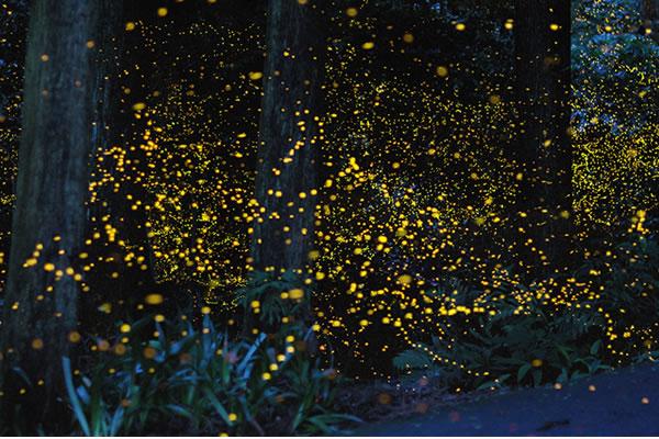 Resultado de imagen de bioluminiscencia luciernagas